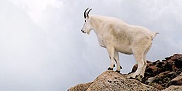 /images/133/2004-08-mountain-goats8-w.jpg - #01911: Mountain Goats at Mt Evans … August 2004 -- Mt Evans, Colorado
