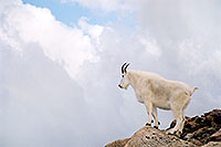 /images/133/2004-08-mountain-goats8.jpg - #01909: Mountain Goats at Mt Evans … August 2004 -- Mt Evans, Colorado