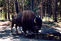 /images/133/2004-08-yello-buffalo1.jpg - #02027: Buffalo just 20 feet away from our car … August 2004 -- Yellowstone, Wyoming