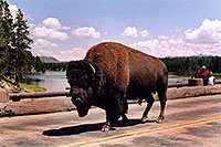 /images/133/2004-08-yello-buffalo3.jpg - #02029: crossing Fishing Bridge in correct lane … August 2004 -- Yellowstone, Wyoming