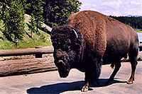 /images/133/2004-08-yello-buffalo4.jpg - #02030: solitary 3,000 pounder male after crossing Fishing Bridge … August 2004 -- Yellowstone, Wyoming