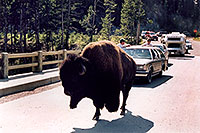 /images/133/2004-08-yello-buffalo5.jpg - #02031: crossing the bridge … August 2004 -- Yellowstone, Wyoming
