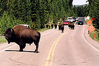 /images/133/2004-08-yello-buffalo6.jpg - #02032: pack leader stops to observe an approaching solitary male … August 2004 -- Yellowstone, Wyoming