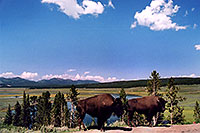 /images/133/2004-08-yello-buffalo7.jpg - #02033: Buffalo by Fairy Creek … August 2004 -- Fairy Creek, Yellowstone, Wyoming