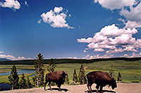 /images/133/2004-08-yello-buffalo8.jpg - #02034: Buffalo by Fairy Creek … August 2004 -- Fairy Creek, Yellowstone, Wyoming
