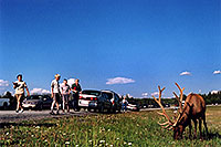/images/133/2004-08-yello-elk3.jpg - #02038: Elk in Yellowstone Park … August 2004 -- Yellowstone, Wyoming