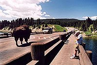 /images/133/2004-08-yello-tourists2.jpg - #02081: Solitary Male following a herd (with its own big male) … August 2004 -- Yellowstone, Wyoming
