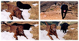 /images/133/2004-09-loveland-dogs3.jpg - #02138: Labrador Retrievers at Loveland Pass … Sept 2004 -- Loveland Pass, Colorado