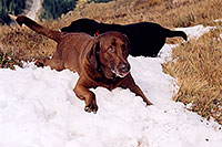 /images/133/2004-09-loveland-dogs6.jpg - #02141: Labrador Retrievers at Loveland Pass … Sept 2004 -- Loveland Pass, Colorado