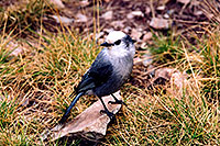/images/133/2004-09-maroon-crater-bird1.jpg - 02179: Jay bird at Crater Lake … Sept 2004 -- Crater Lake, Maroon Bells, Colorado