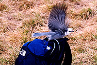 /images/133/2004-09-maroon-crater-bird2.jpg - #02167: Jay bird at Crater Lake … Sept 2004 -- Crater Lake, Maroon Bells, Colorado