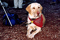/images/133/2004-09-maroon-labrador2.jpg - #02175: `how is this for my thinking face?` … (Labrador Retriever) … Sept 2004 -- Maroon Bells, Colorado