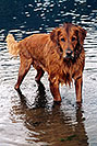 /images/133/2004-09-twinlakes-dogs03-v.jpg - #02211: Max (Golden Retriever) at Twin Lakes … Sept 2004 -- Twin Lakes, Colorado