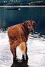 /images/133/2004-09-twinlakes-dogs04-v.jpg - #02212: Max (Golden Retriever) at Twin Lakes … Sept 2004 -- Twin Lakes, Colorado