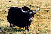/images/133/2004-10-yak1.jpg - #02346: Yak in the late afternoon near Sargeants, Colorado  … October 2004 -- Sargeants, Colorado