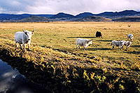 /images/133/2004-10-yak3.jpg - #02348: Yaks in the late afternoon near Sargeants, Colorado  … October 2004 -- Sargeants, Colorado