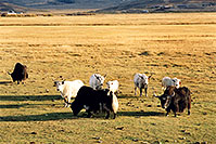 /images/133/2004-10-yak4.jpg - #02350: Yaks in the late afternoon near Sargeants, Colorado  … October 2004 -- Sargeants, Colorado