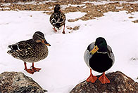 /images/133/2005-02-estes-park-ducks1.jpg - #02417: Estes Park, Colorado … Feb 2005 -- Estes Park, Colorado