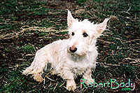 /images/133/2005-03-durango-abbie1.jpg - #02448: Abbie (Scottish Terrier) … March 2005 -- Durango, Colorado