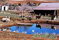/images/133/2005-03-durango-lake-geese2.jpg - #02456: Llamas, Goats and Geese by the pond … March 2005 -- Durango, Colorado