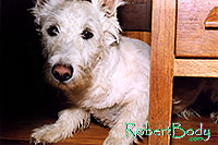 /images/133/2005-03-durango-max-chair1.jpg - #02469: Max (Scottish Terrier) hiding … March 2005 -- Durango, Colorado