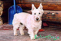/images/133/2005-03-durango-max1.jpg - #02467: Max (Scottish Terrier) … March 2005 -- Durango, Colorado