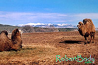 /images/133/2005-03-durango-mollie-zola.jpg - #02472: Mollie and Zola (Double Humped Camels) … March 2005 -- Durango, Colorado