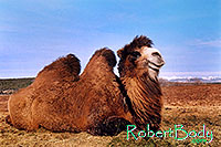 /images/133/2005-03-durango-mollie2.jpg - #02470: Mollie (Double Humped Camel) … March 2005 -- Durango, Colorado