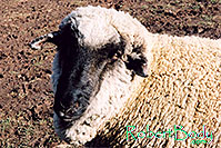 /images/133/2005-03-durango-timmy2.jpg - #02478: Timmy (Ram) … March 2005 -- Durango, Colorado