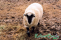 /images/133/2005-03-durango-timmy3.jpg - #02479: Timmy (Ram) … March 2005 -- Durango, Colorado