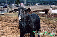 /images/133/2005-03-durango-woody2.jpg - 02487: Woody (Navajo goat) … March 2005 -- Durango, Colorado