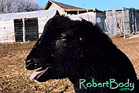 /images/133/2005-03-durango-woody4.jpg - #02489: Woody (Navajo goat) … March 2005 -- Durango, Colorado