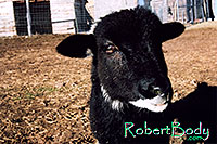 /images/133/2005-03-durango-woody5.jpg - #02490: Woody (Navajo goat) … March 2005 -- Durango, Colorado