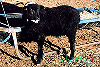 /images/133/2005-03-durango-woody6.jpg - #02491: Woody (Navajo goat) … March 2005 -- Durango, Colorado