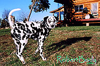 /images/133/2005-03-durango-xander3.jpg - #02494: Xander Dalmation)  in front of the log house … March 2005 -- Durango, Colorado