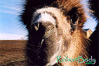 /images/133/2005-03-durango-zola-closeu.jpg - #02496: Zola (Camel) … March 2005 -- Durango, Colorado