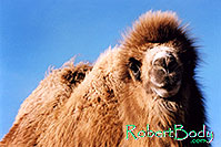 /images/133/2005-03-durango-zola1.jpg - #02493: Zola (Camel) … March 2005 -- Durango, Colorado