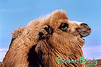 /images/133/2005-03-durango-zola2.jpg - #02494: Zola (Camel) … March 2005 -- Durango, Colorado