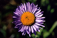 /images/133/2005-09-indep-flower-purple.jpg - #02598: Purple Daisy flower, above Independence Pass … Sept 2005 -- Independence Pass, Colorado