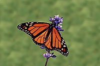 /images/133/2005-10-oakville-butterfly.jpg - #02643: Monarch butterfly in Oakville Gardens … Oct 2005 -- Oakville, Ontario.Canada