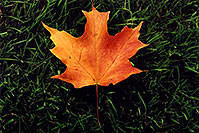 /images/133/2005-10-oakville-fall-leaf.jpg - #02644: maple leaf in Oakville … Oct 2005 -- Oakville, Ontario.Canada