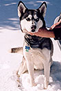 /images/133/2006-02-woodland-sam1-v.jpg - #02790: Sam (Husky) in Woodland Park … Feb 2006 -- Woodland Park, Colorado