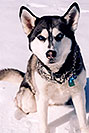 /images/133/2006-02-woodland-sam2-v.jpg - #02791: Sam (Husky) in Woodland Park … Feb 2006 -- Woodland Park, Colorado