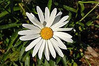 /images/133/2006-10-01-lone-fall04.jpg - #02884: White daisy in Lone Tree … Oct 2006 -- Lone Tree, Colorado