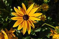 /images/133/2006-10-01-lone-fall05.jpg - #02885: Black Eyed Susan (Yellow daisy) in Lone Tree … Oct 2006 -- Lone Tree, Colorado