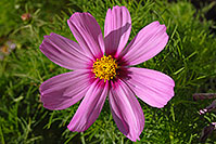 /images/133/2006-10-01-lone-fall19.jpg - #02899: Pink daisy in Lone Tree … Oct 2006 -- Lone Tree, Colorado