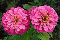 /images/133/2006-10-08-cent-flowers01.jpg - #02953: pink flowers in Centennial … Oct 2006 -- Centennial, Colorado