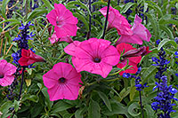 /images/133/2006-10-08-cent-flowers04.jpg - #02956: pink and blue flowers in Centennial … Oct 2006 -- Centennial, Colorado