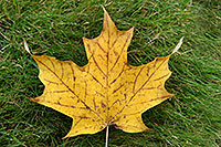 /images/133/2006-10-21-oak-maple-leaf.jpg - #03084: yellow maple leaf in grass … images of Oakville … Oct 2006 -- Oakville, Ontario.Canada