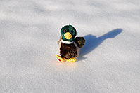 /images/133/2006-10-28-lone-duck01.jpg - #03109: Duck in the snow … Oct 2006 -- Lincoln Rd, Englewood, Colorado